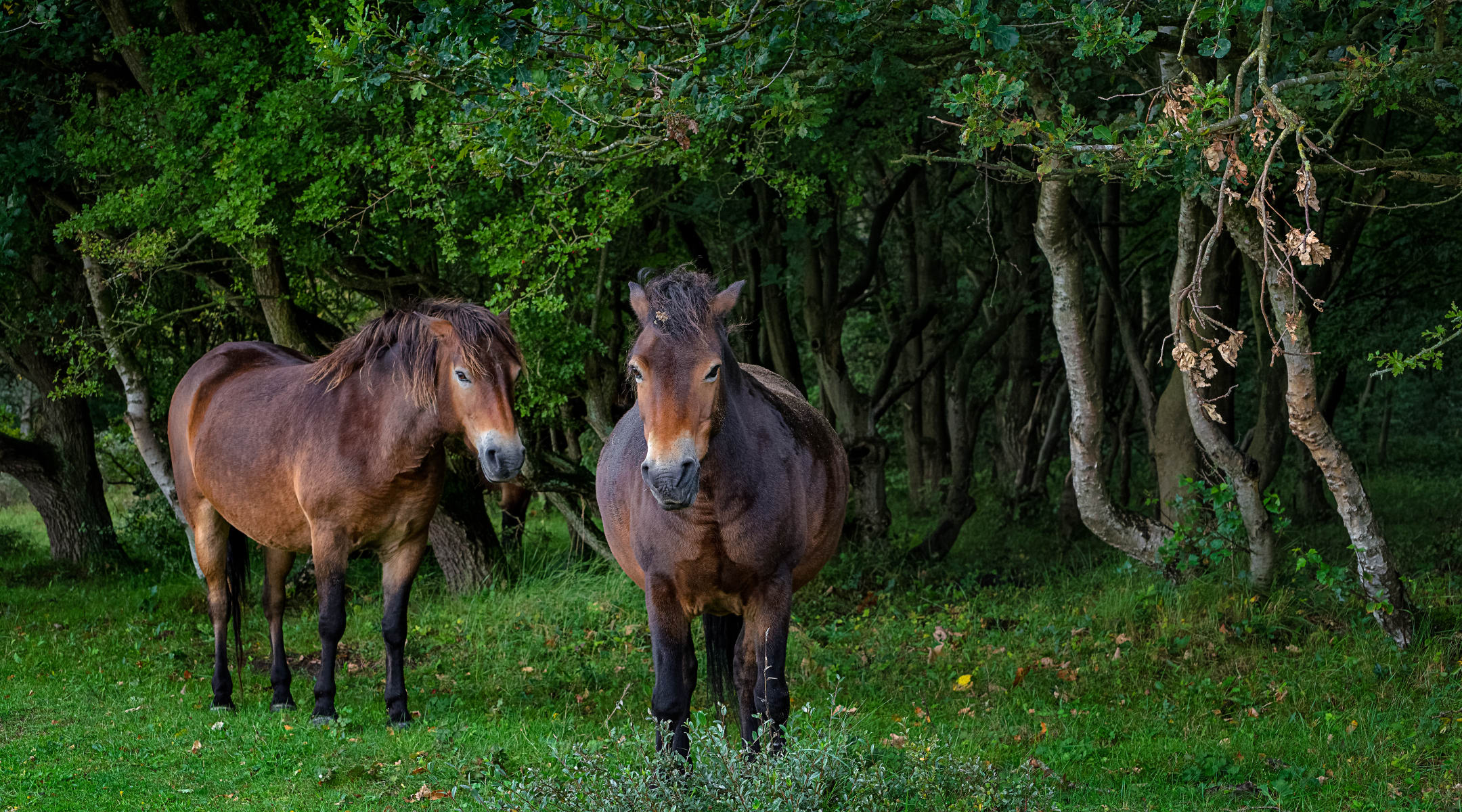 Two Horses Standing at the Edge of a Forest