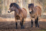 Two Horses Standing in a Clearcut Forest Area