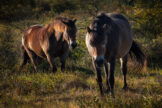 Two Horses Walking in the Glow of Late Summer Morning Light