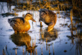 Two Mallards Feeding in Morning Light