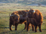 Two Young Highland Buddies Conversing on a Sunny Winter Morning