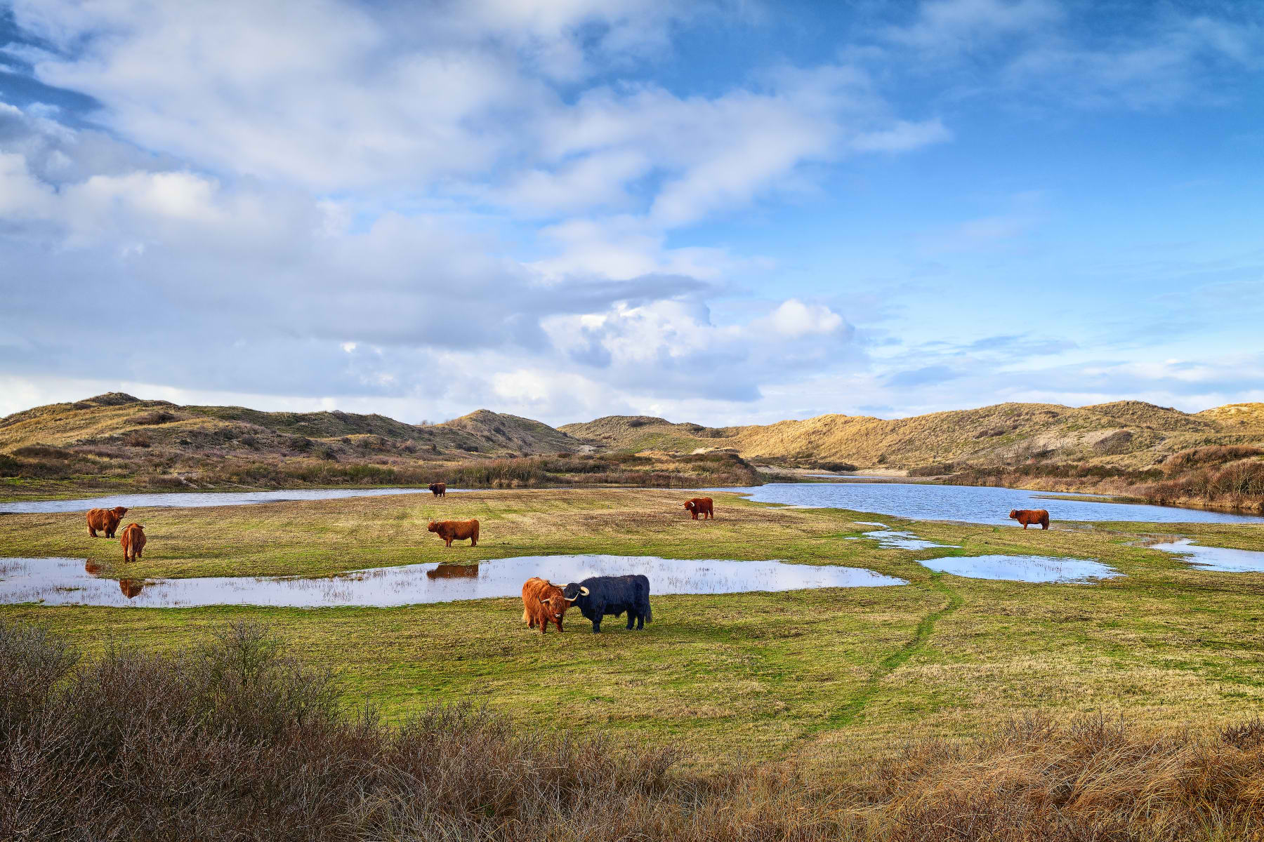 wet meadow in winter with cattle