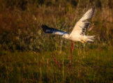 White Buzzard Taking off in Morning Light