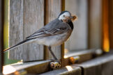 White Wagtail Entering a Bird Blind to Build a Nest