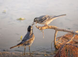 White Wagtail Fledgling Being Fed
