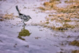 White Wagtail Wading at Edge of Pond