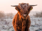 Winter Glow - Young Highland Bull in Winter Morning Light