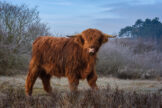 Young Highland Bull Walking by Through Winter Landscape