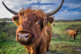 Young Scottish Highland Bull Up-Close