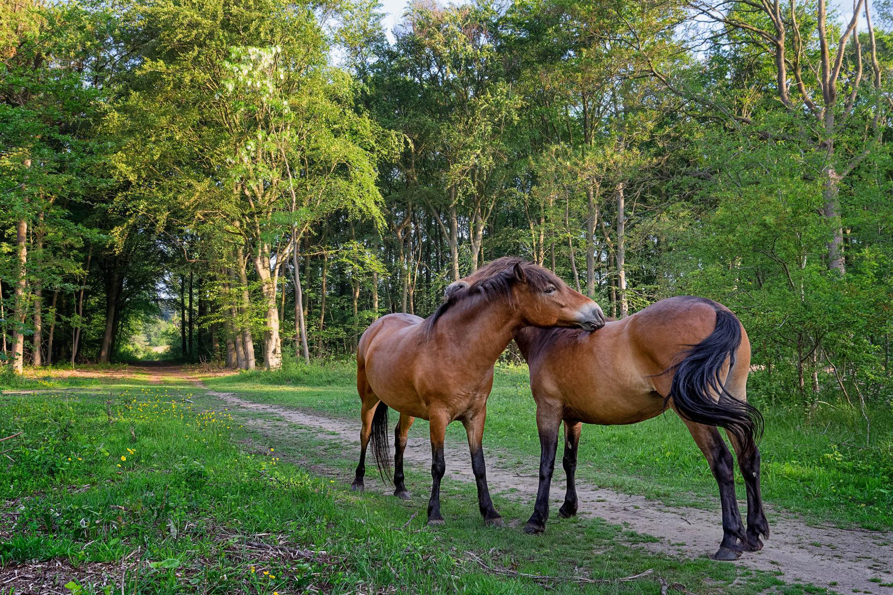 affectionate horses hugging in forest lane