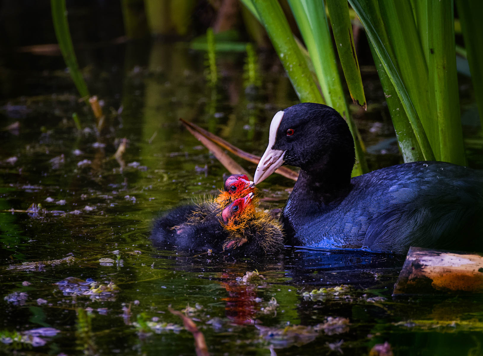 baby coot chicks begging for food