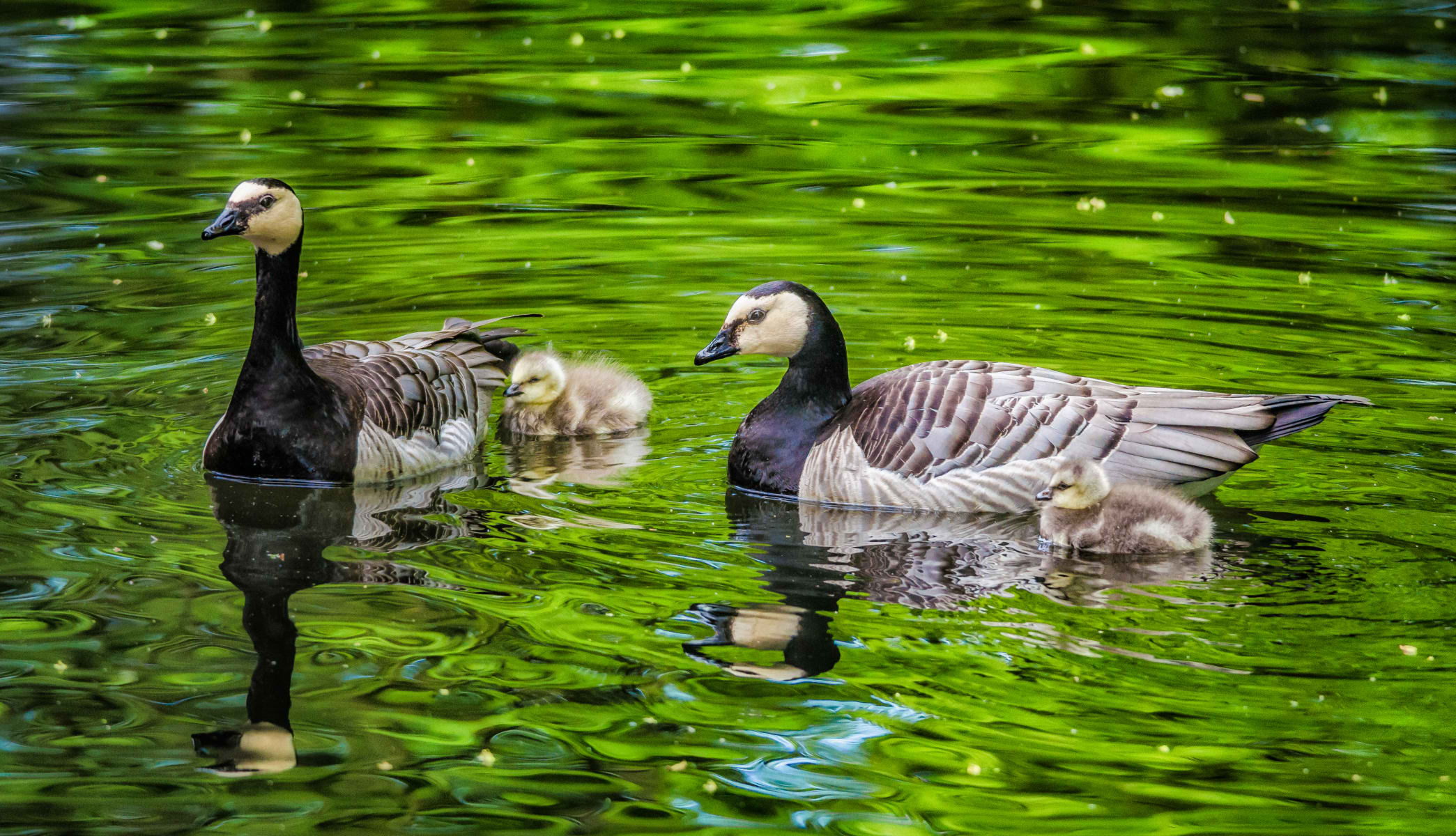 barnacle goose family swimming in luminescent green