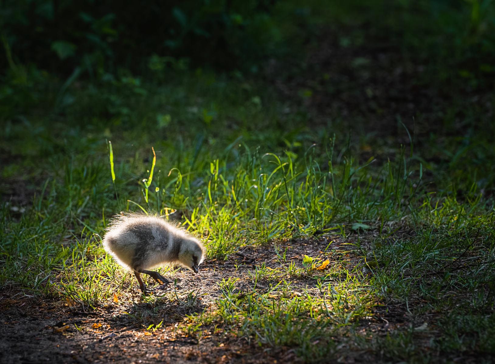 barnacle gosling pecking around in a sunbeam
