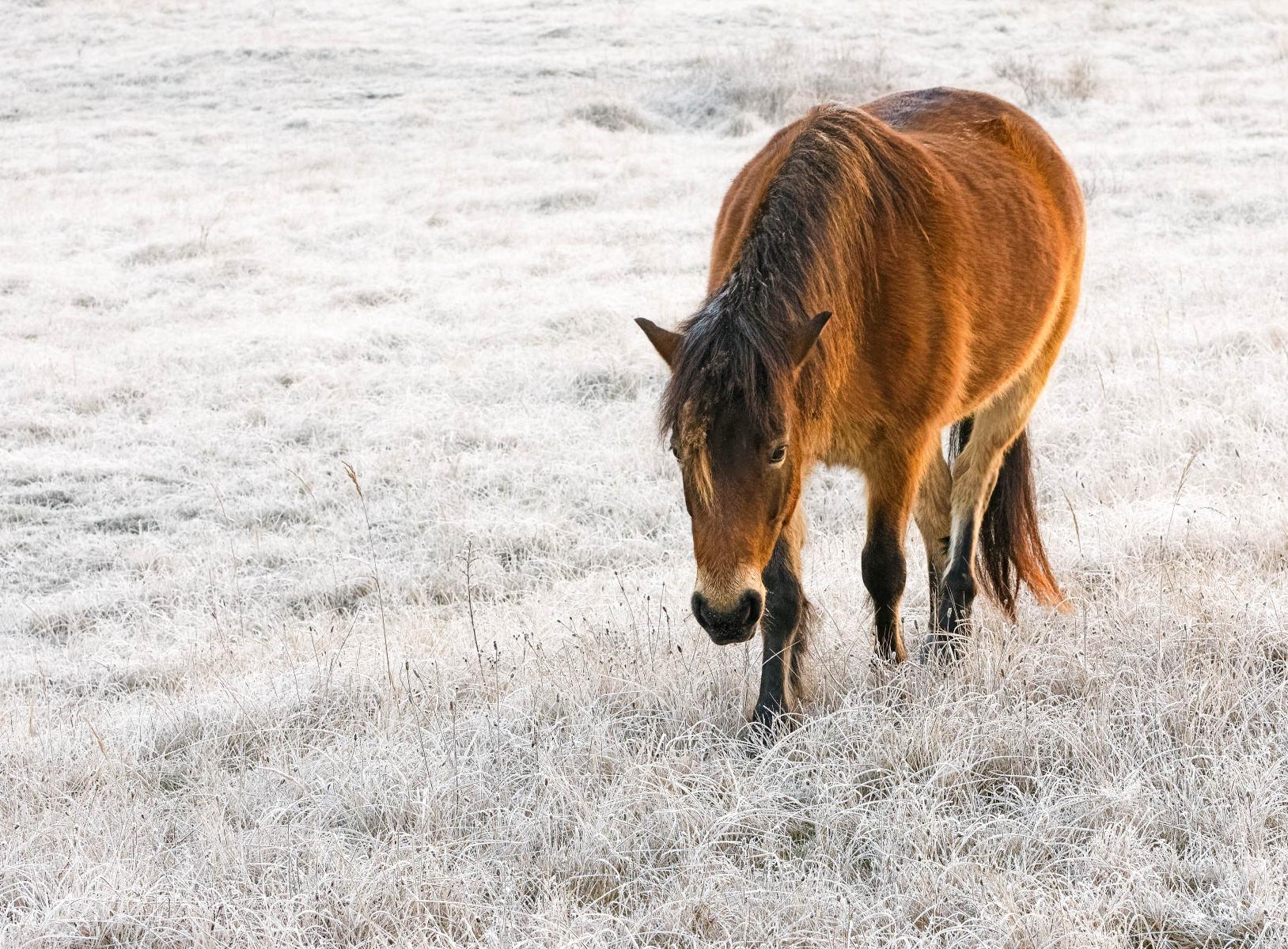 bay horse in frosty field