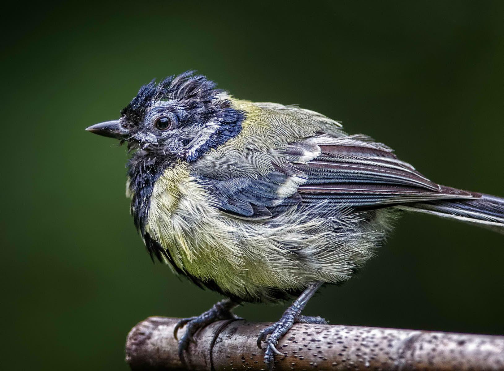 bedraggled bird