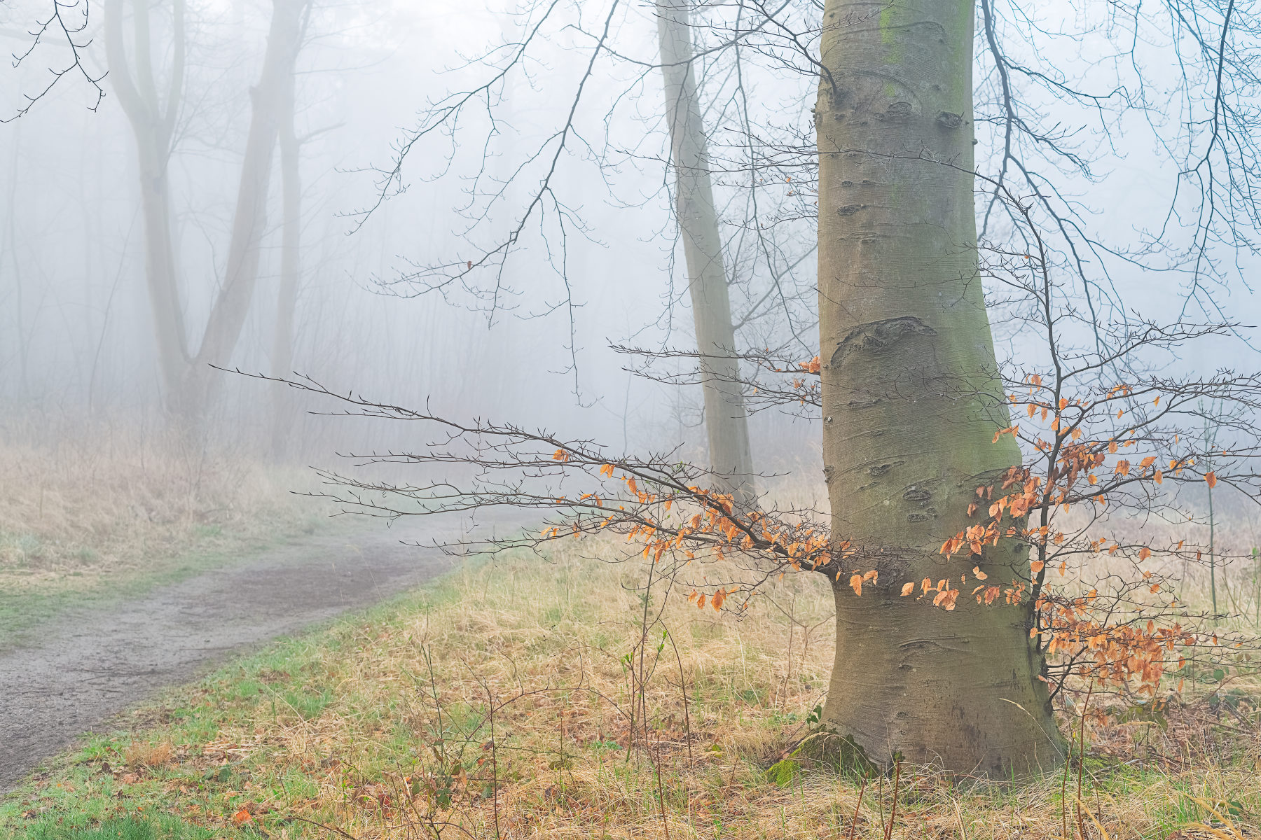 beech tree with persistent leaves in thick fog