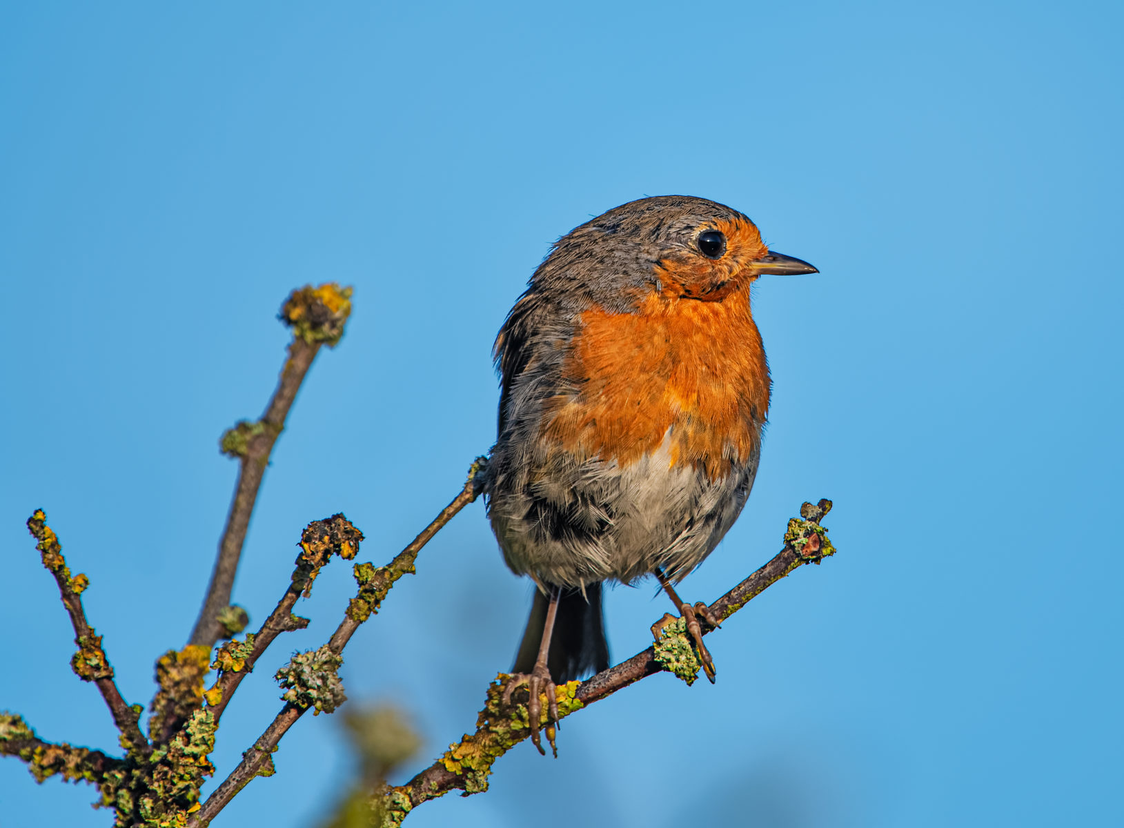big eyed robin on branch
