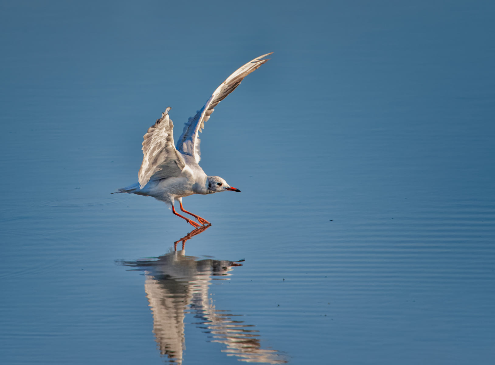 black-headed gull gently touching down on water
