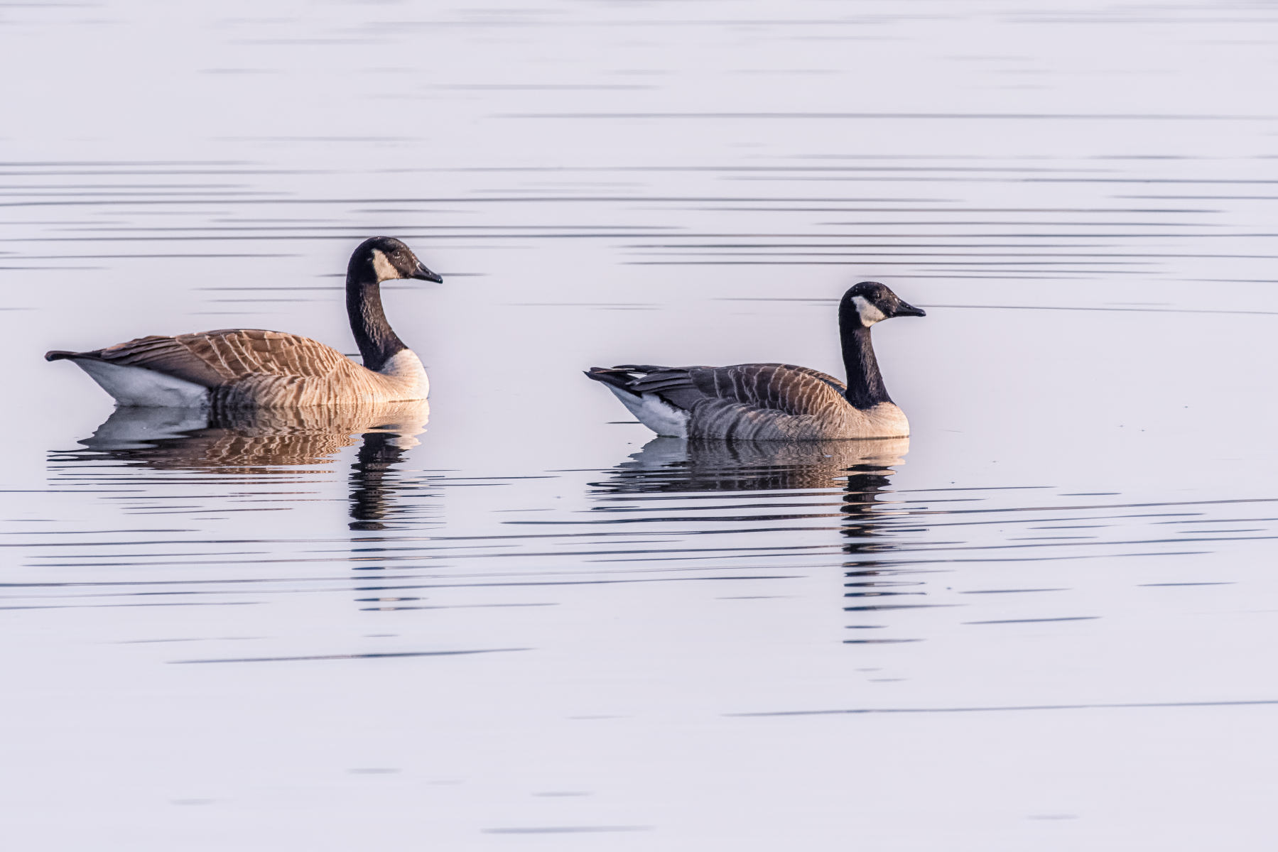 canada goose couple swimming in striped waters