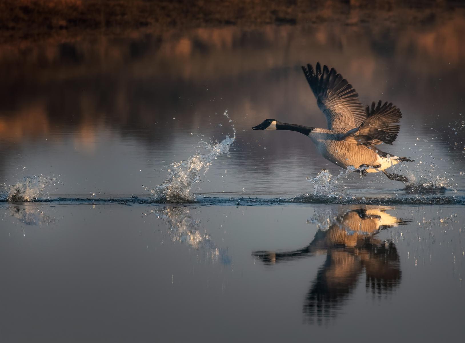 canada goose taking flight through the splashes of its partner