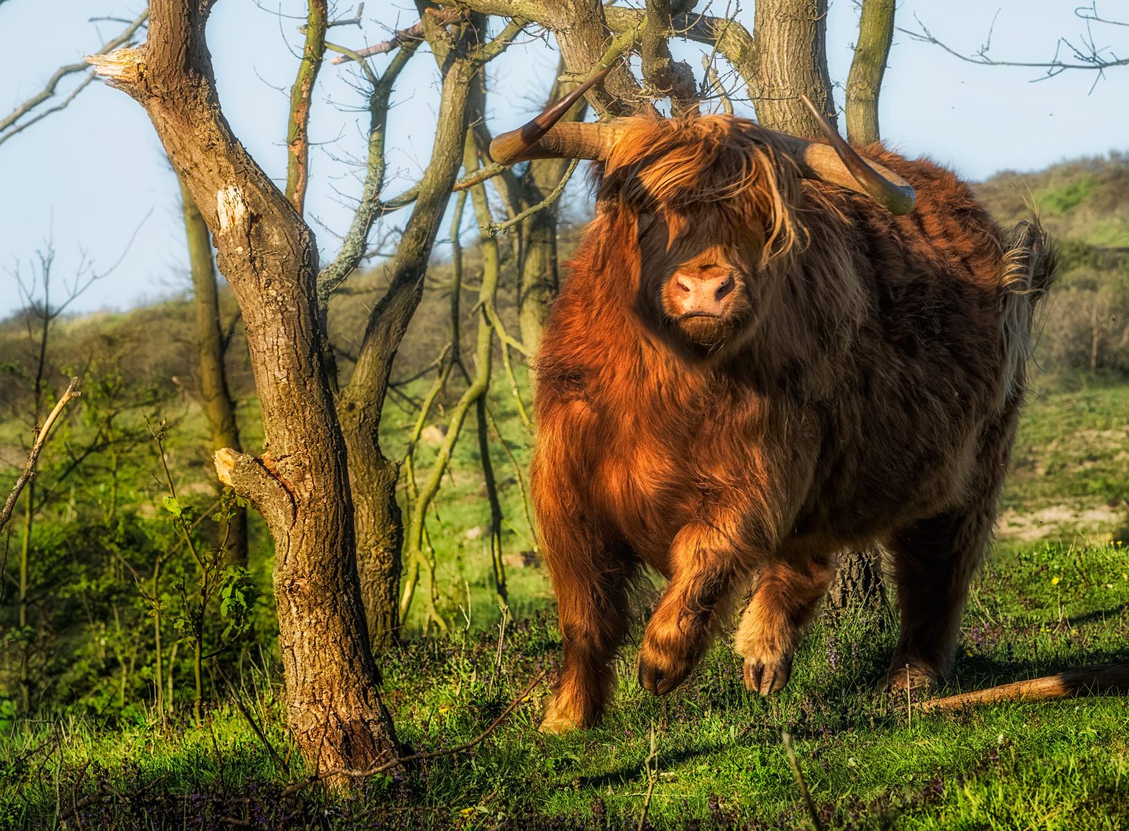 charging highland bull