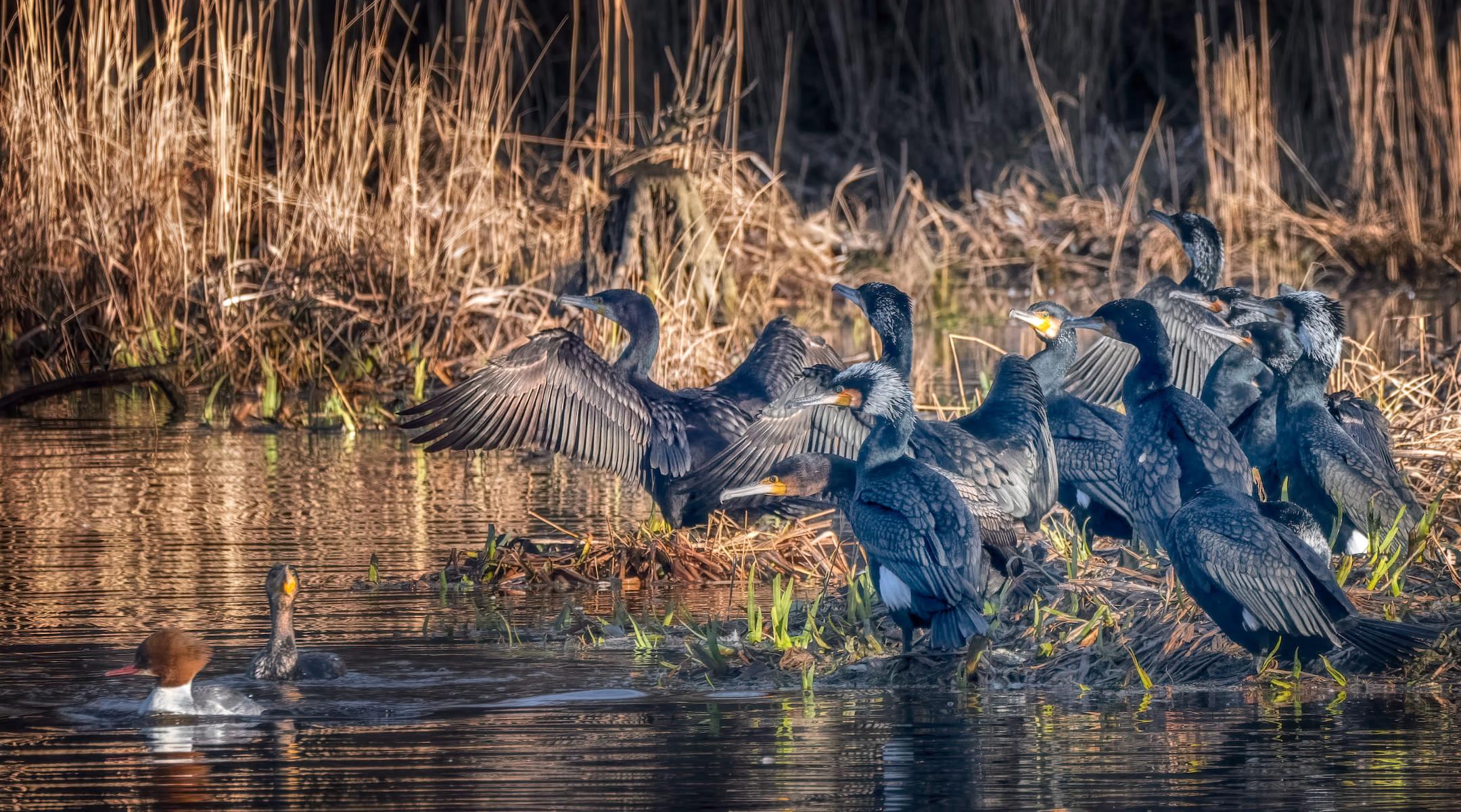 cluster of cormorants