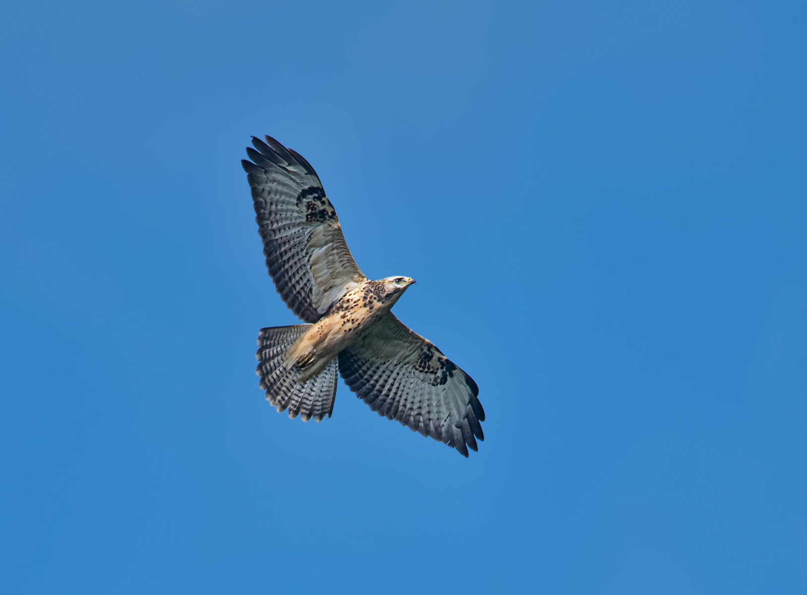 common buzzard soaring high with spread wings