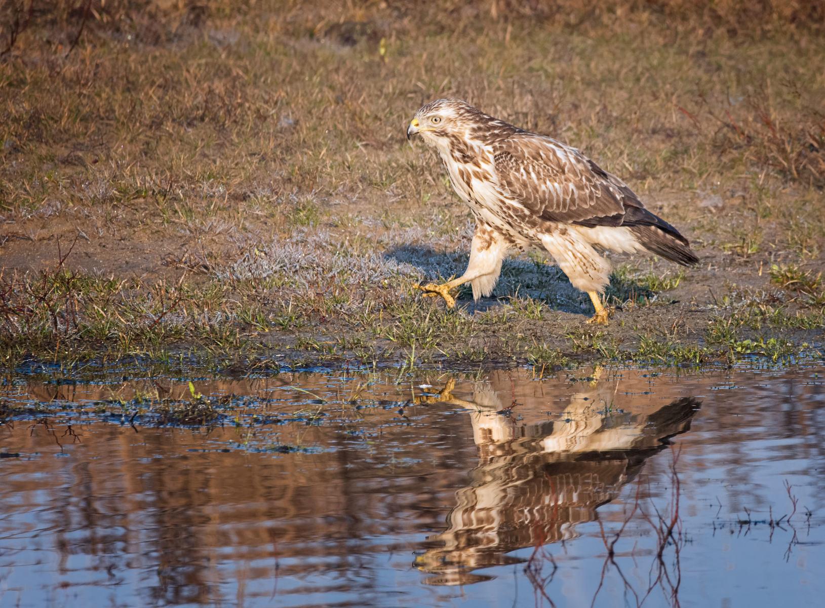 common buzzard striding along edge of pond