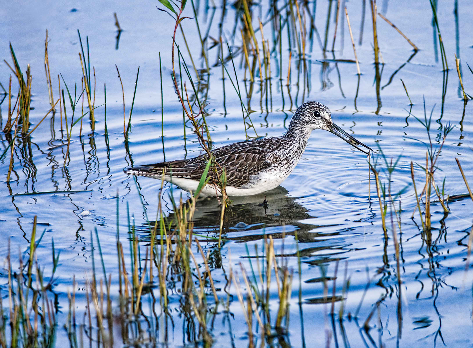common greenshank with a catch