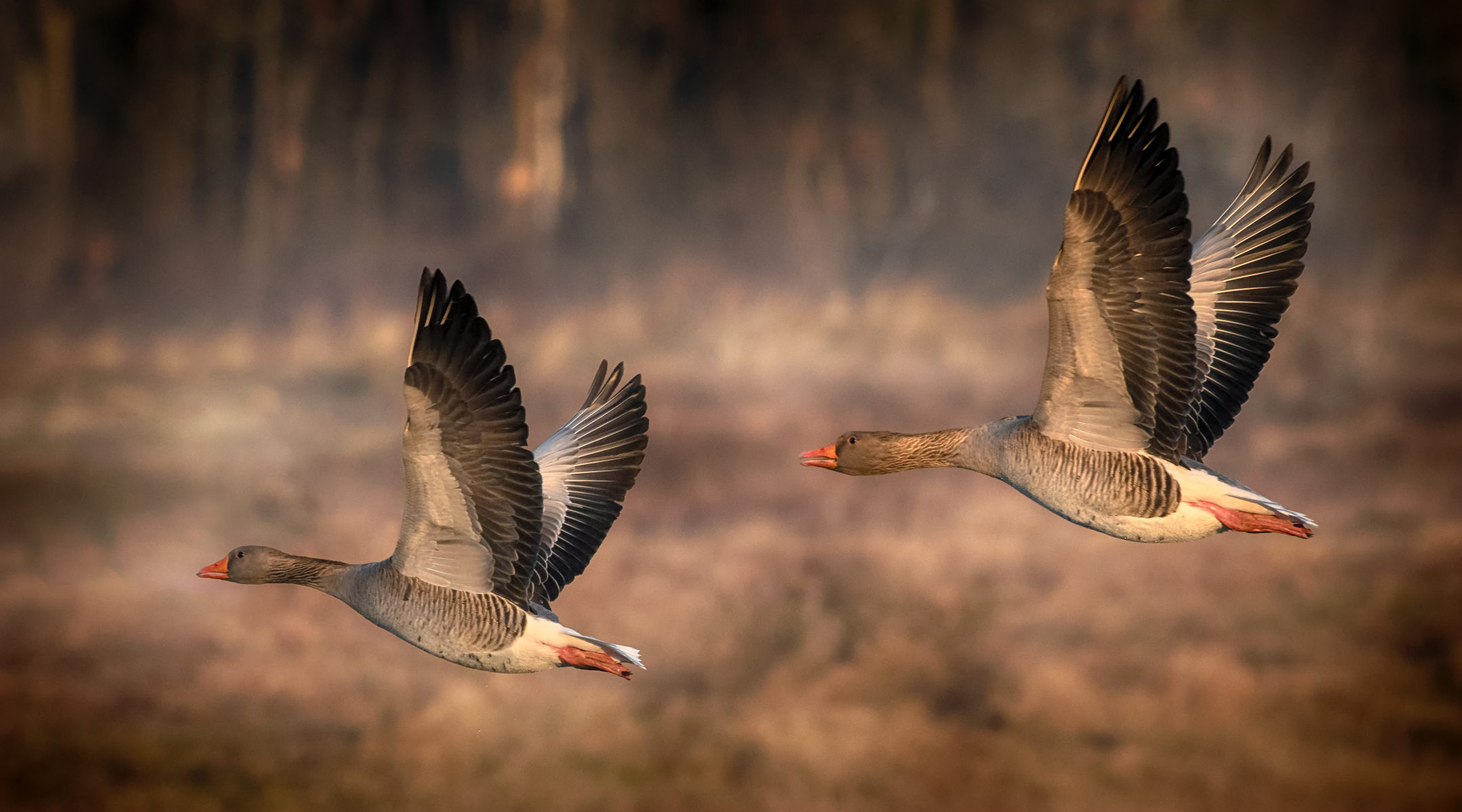 couple of greylag geese in flight