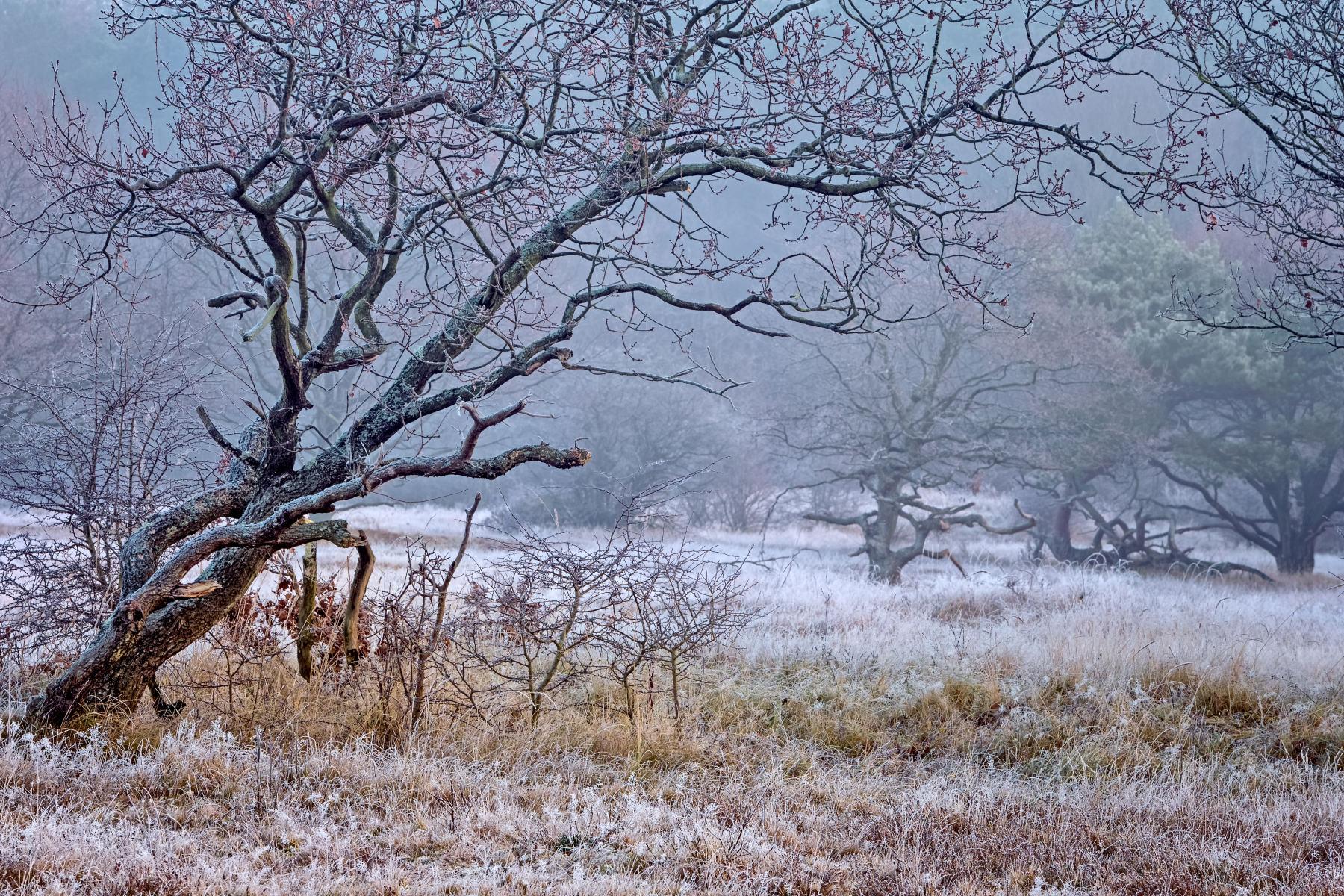 crooked oaks in frosty field