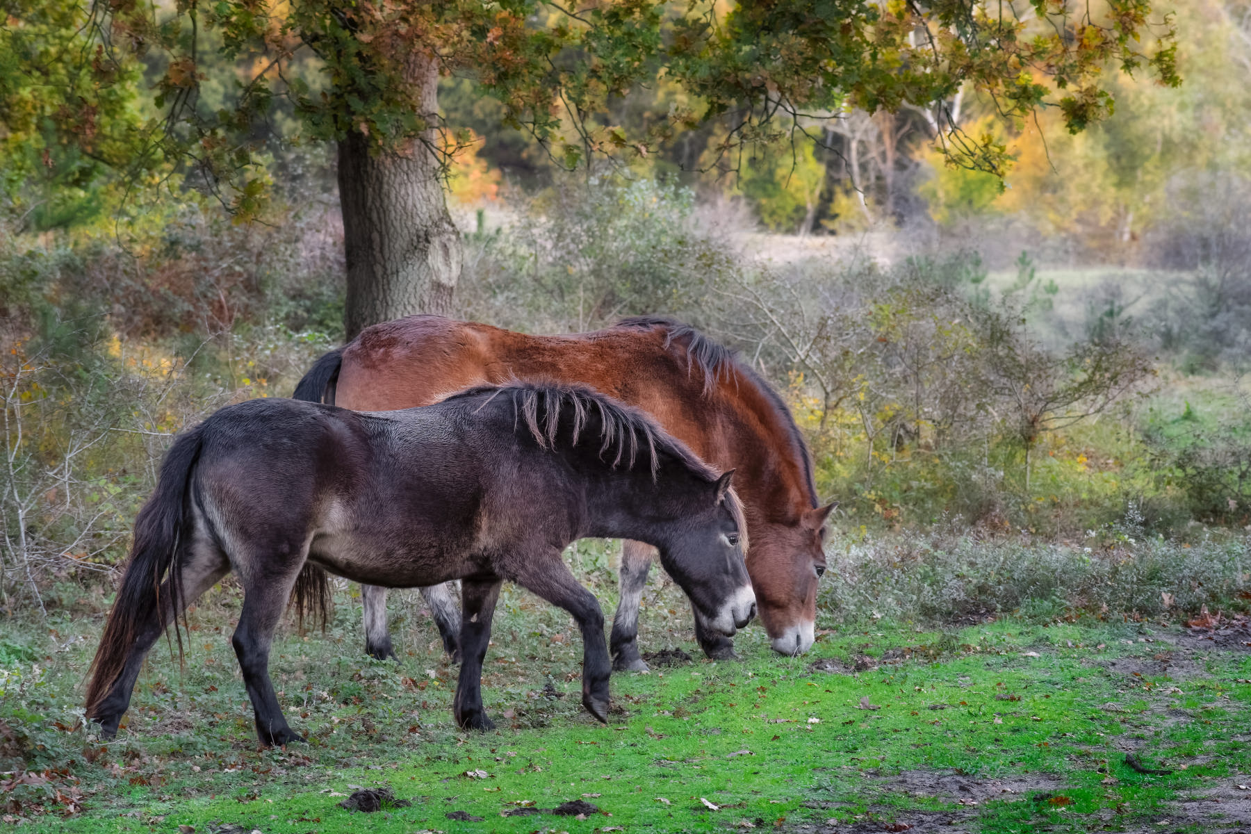 dark brown and bay horse in autumn forest