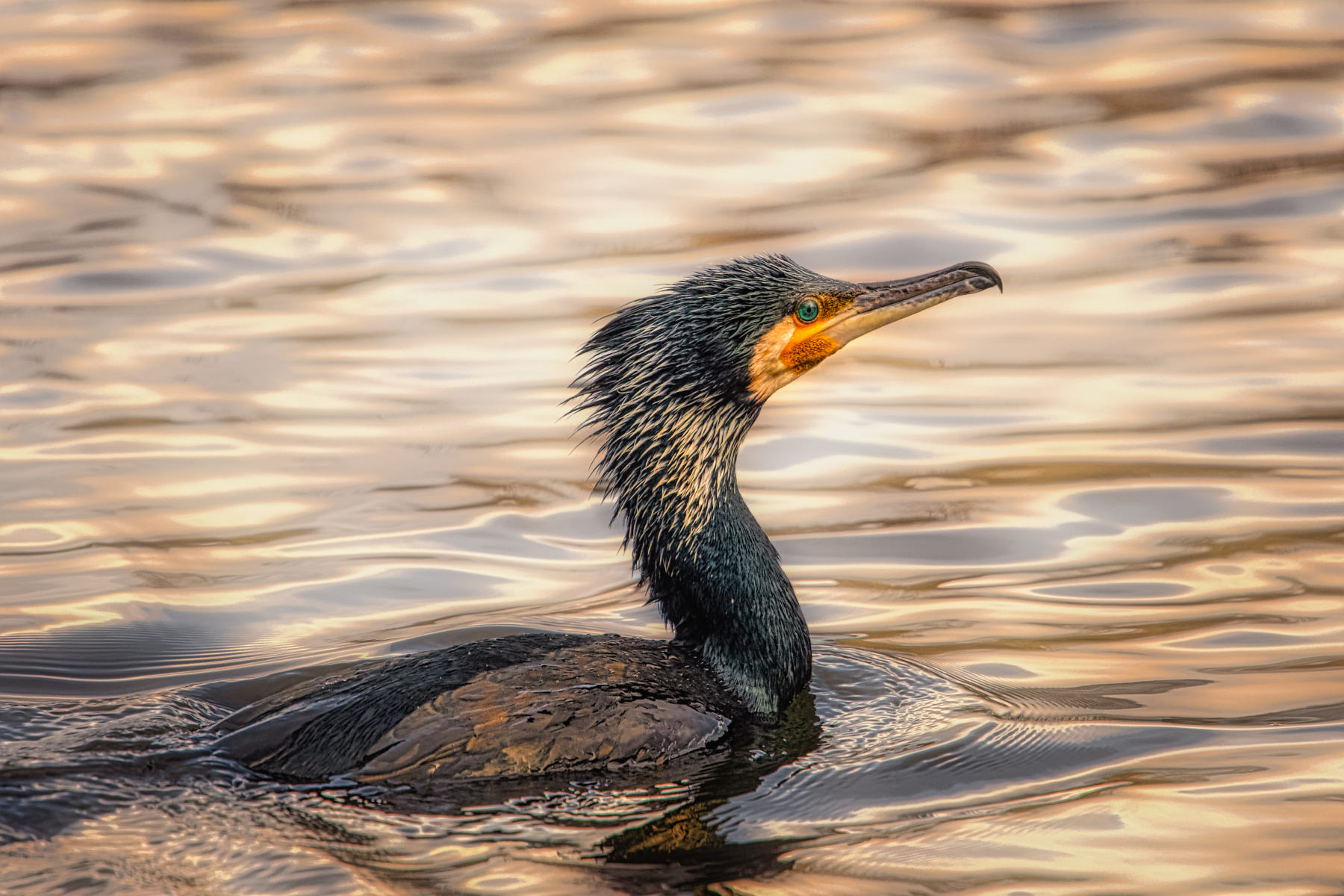 dauntless cormorant