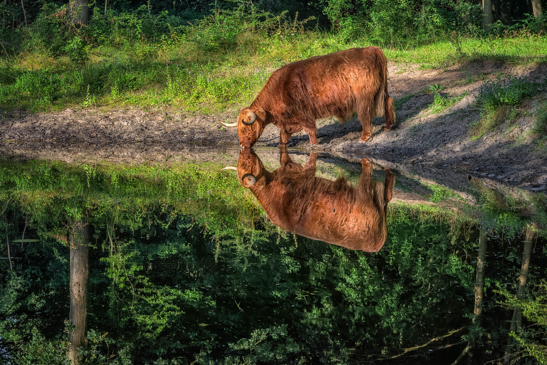 drinking from its own reflection