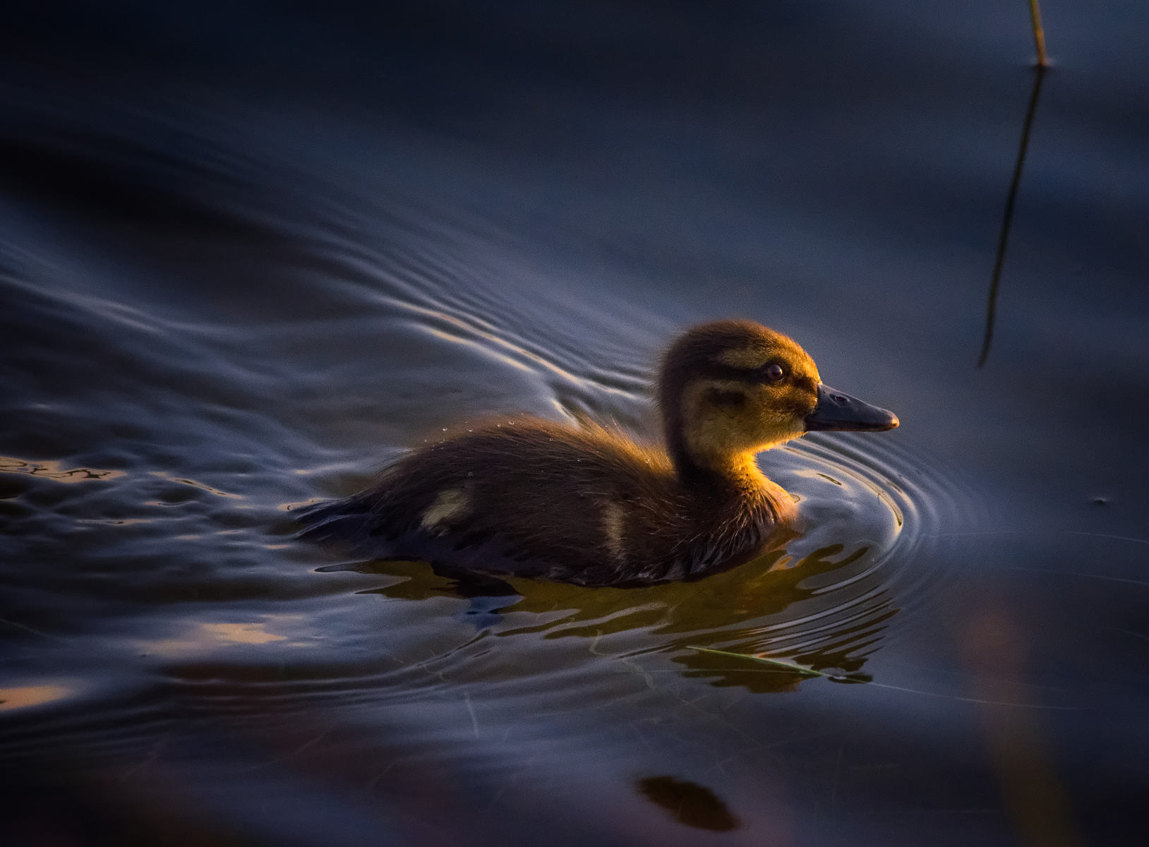 duckling swimming at first light