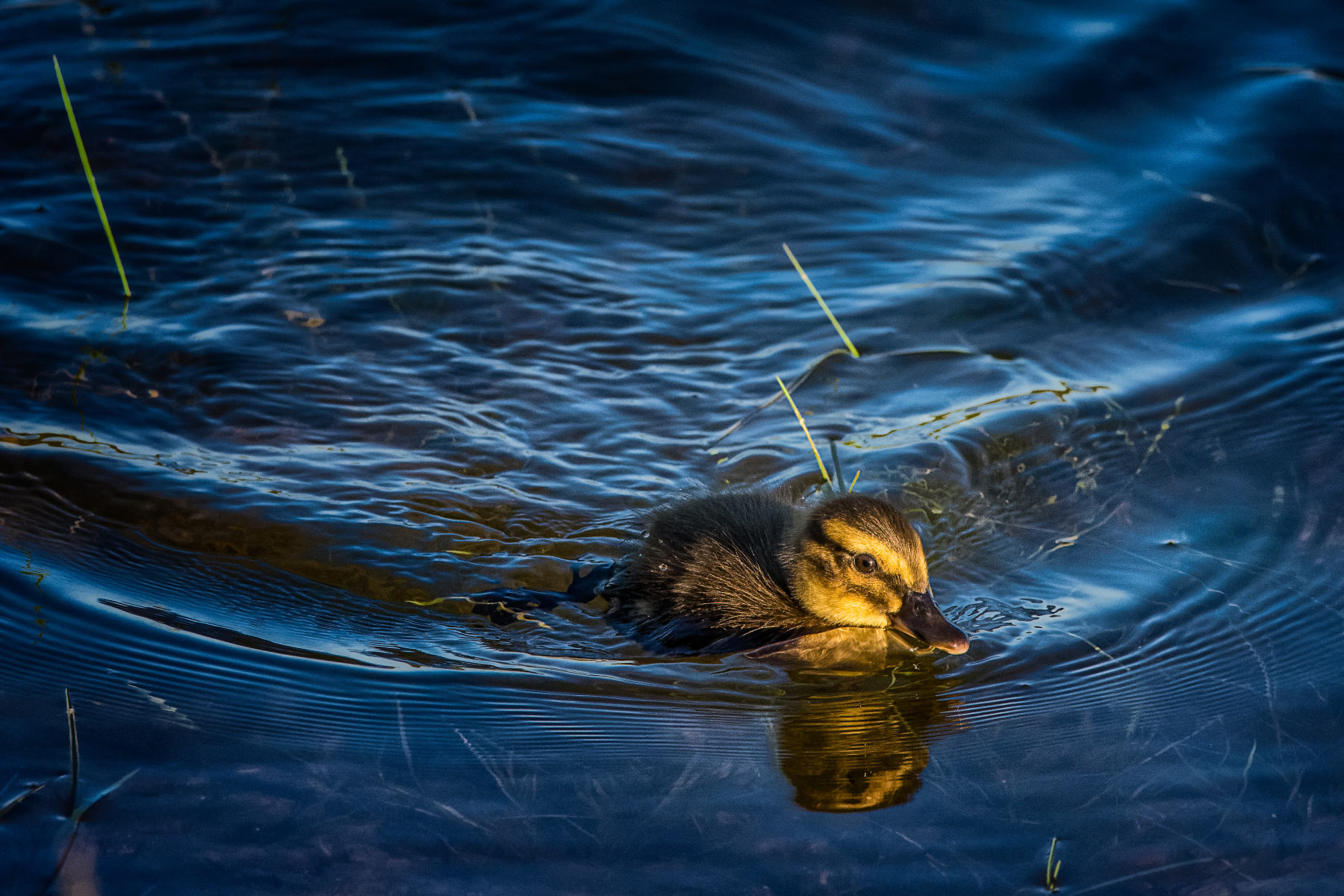 duckling in pond at sunrise