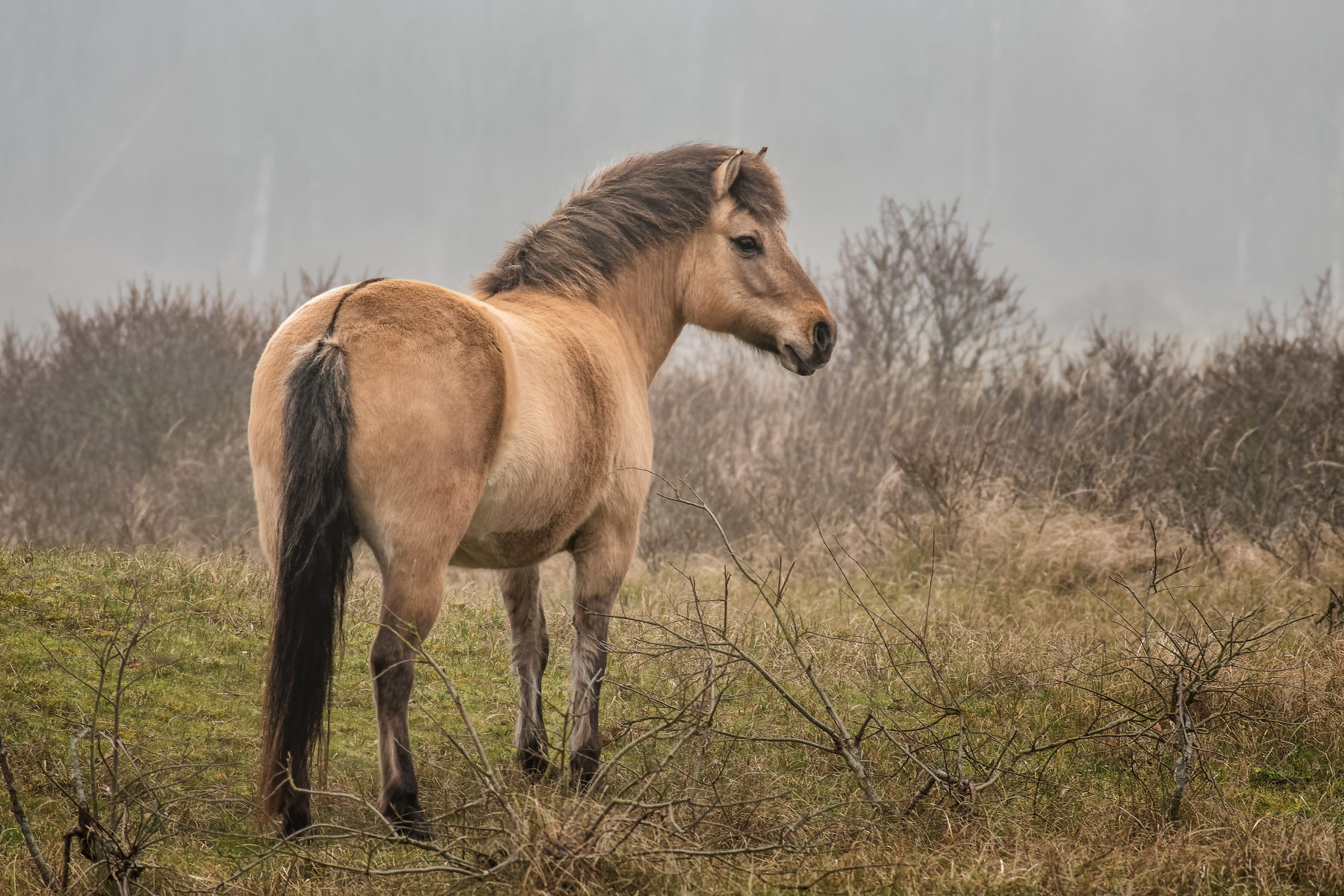 dun horse looking out over a misty field