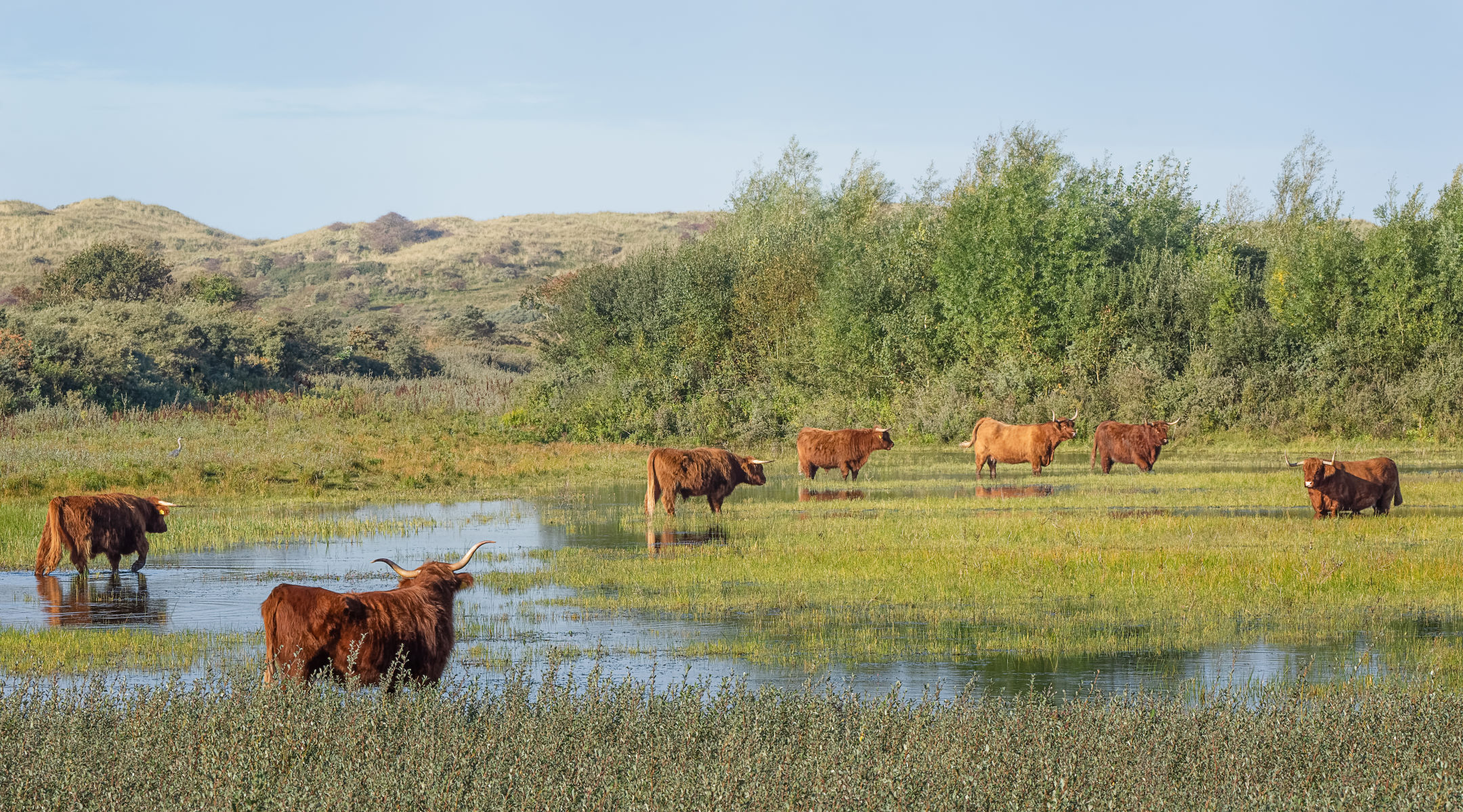 dune pond with highland cattle on sunny autumn morning