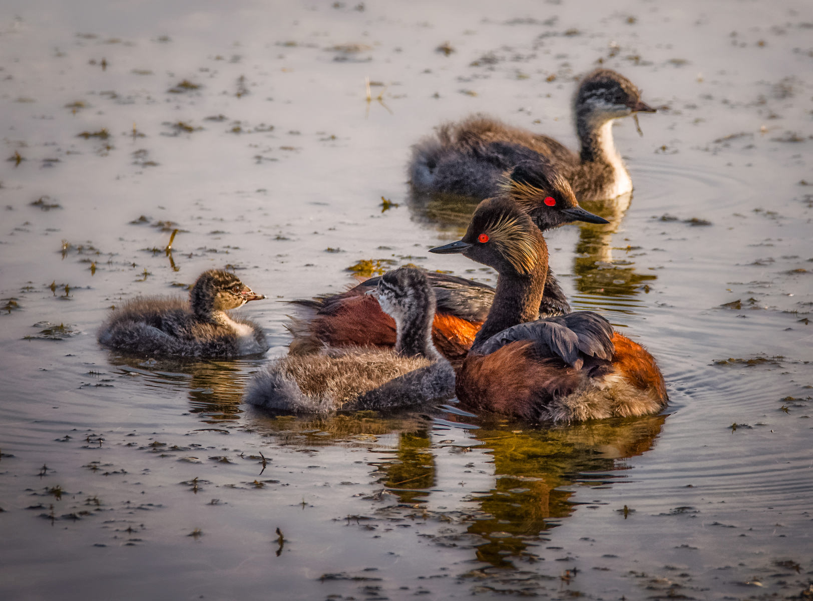 eared grebe family moment