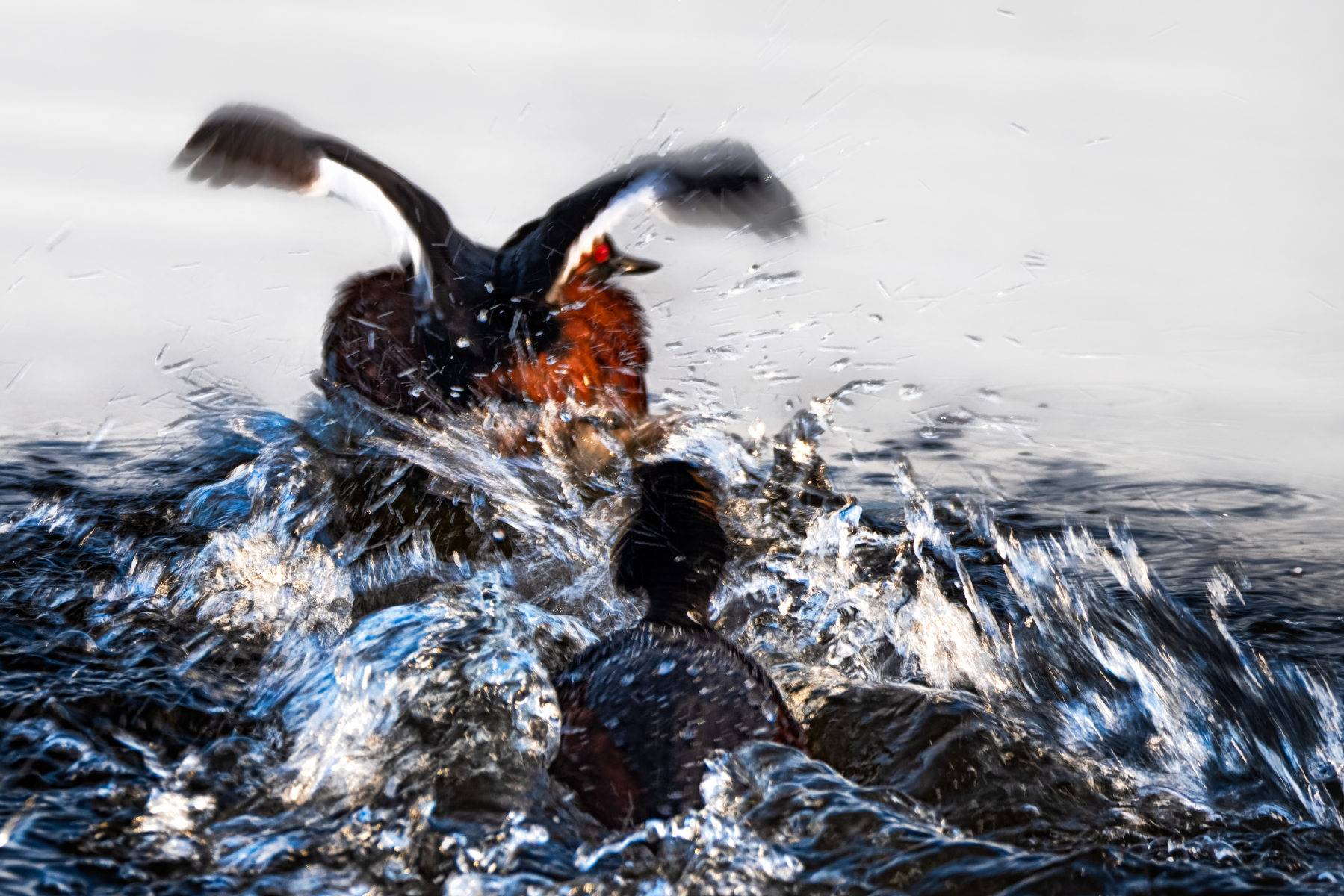 eared grebes churning the water in pursuit