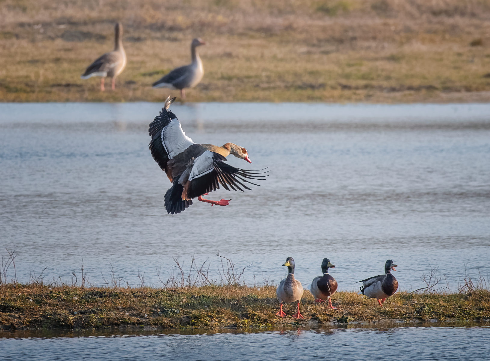 egyptian goose coming in for a landing amid mallards
