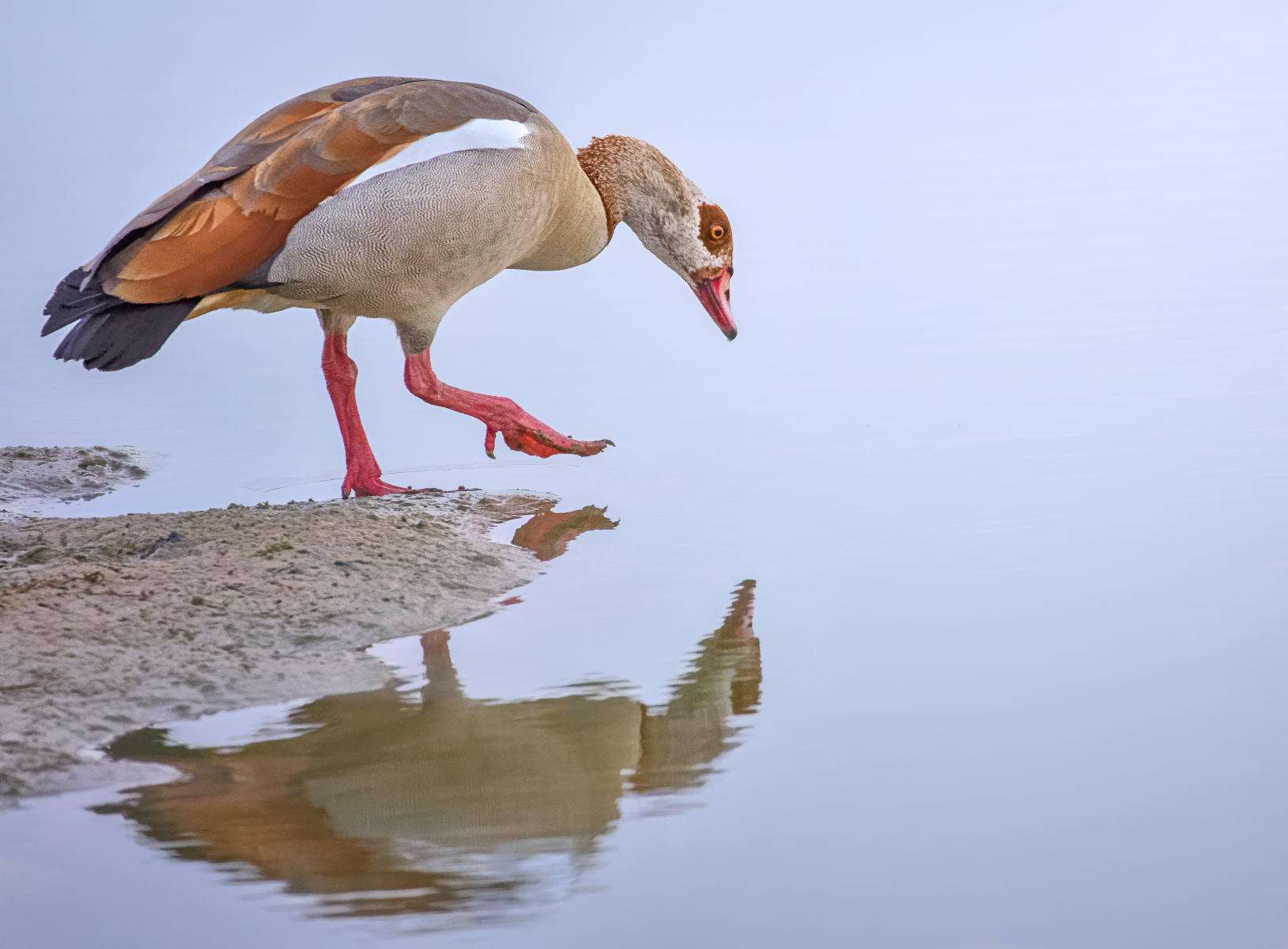egyptian goose having a narcissus moment