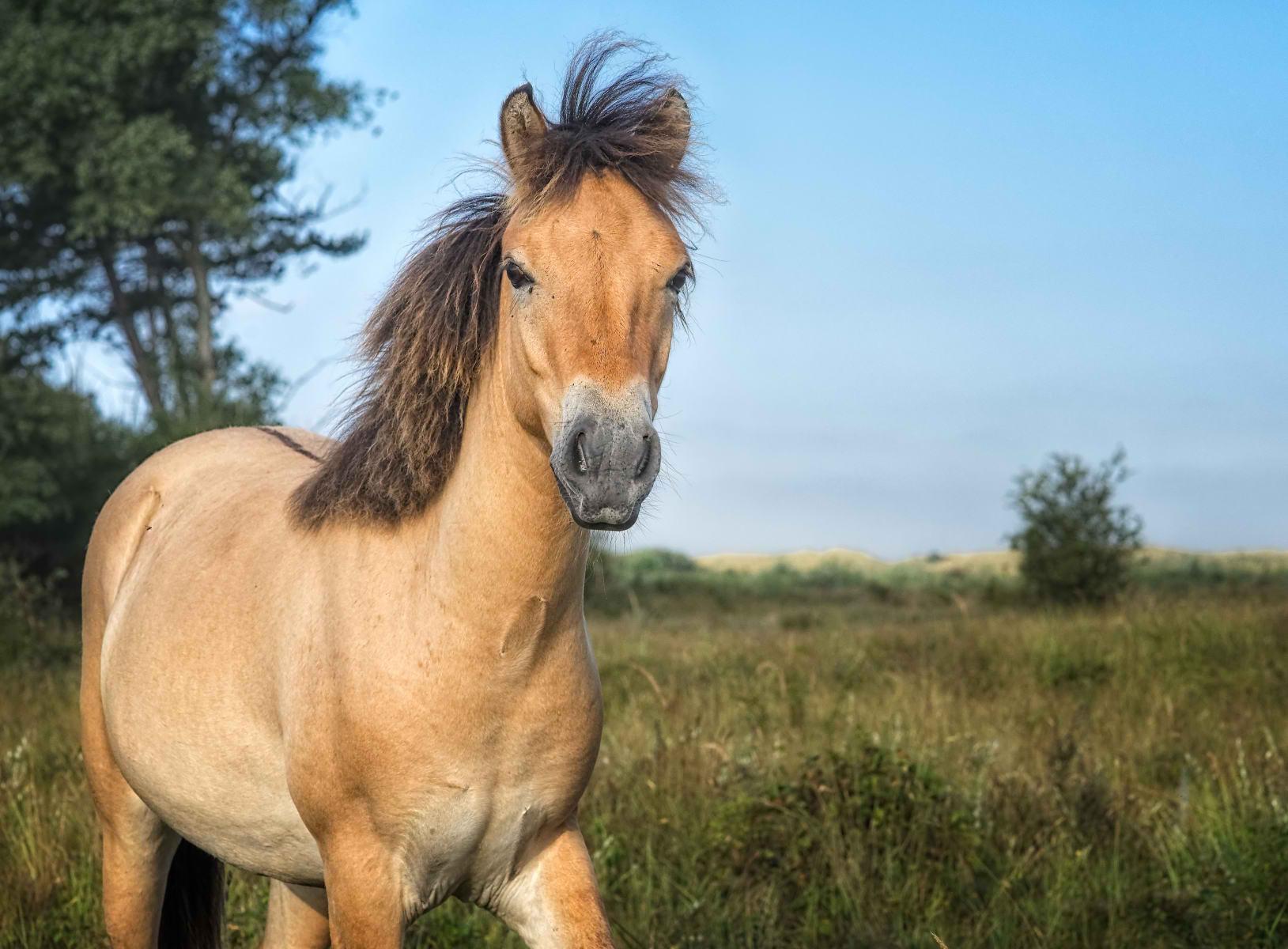 exmoor pony yearling