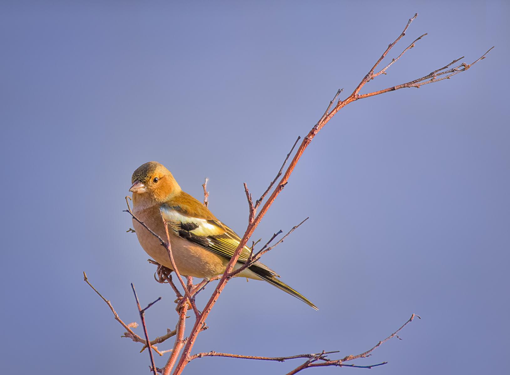 female chaffinch perched on reddish branch