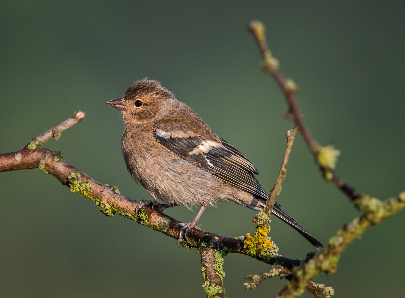 female chaffinch on lichen covered branch