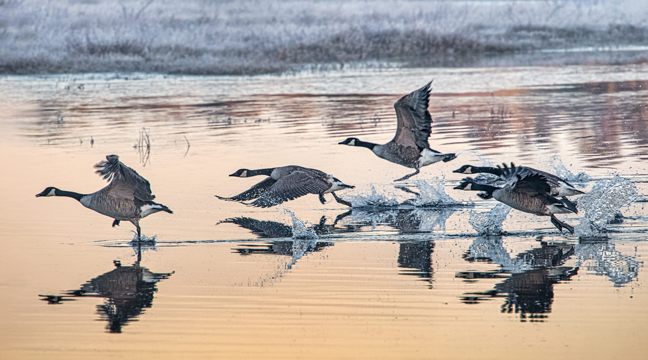 flock of canada geese taking off from a winter pond