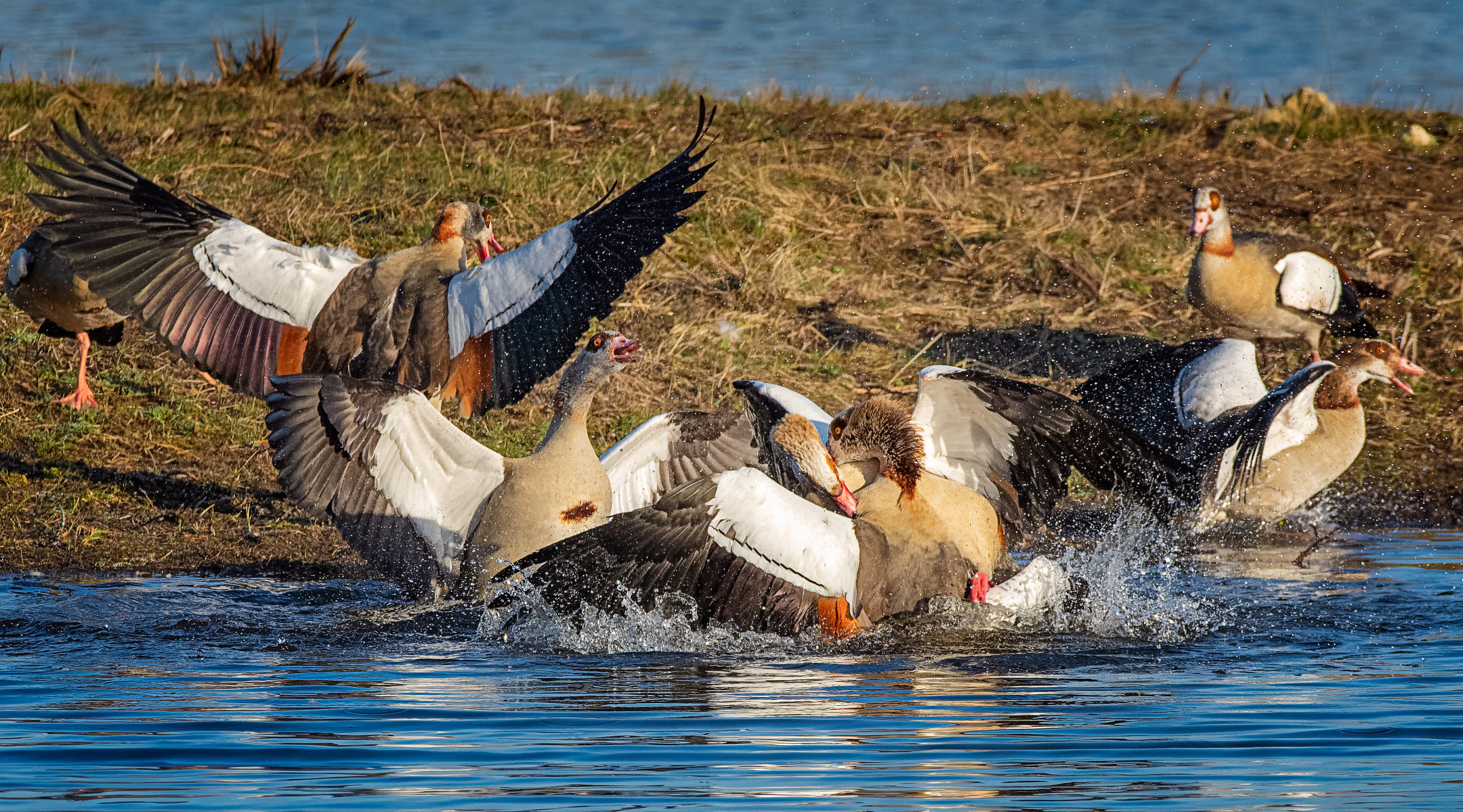 flock of  geese fighting in pond with wildly flapping wings
