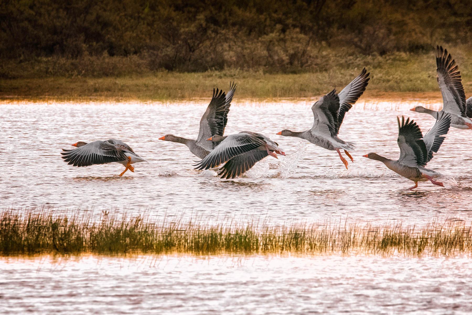 flock of greylag geese taking wing