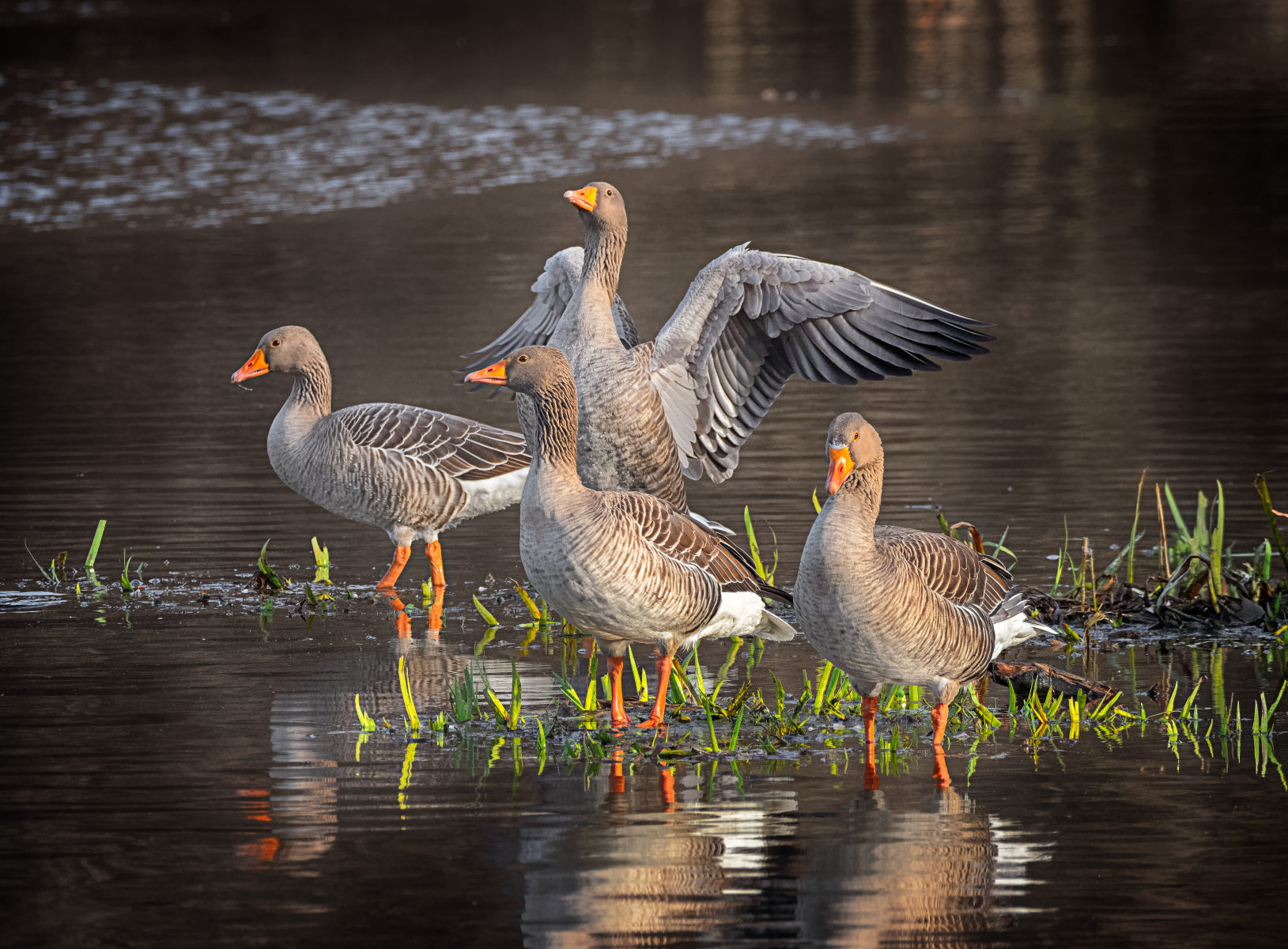 four greylag geese resting in a pond