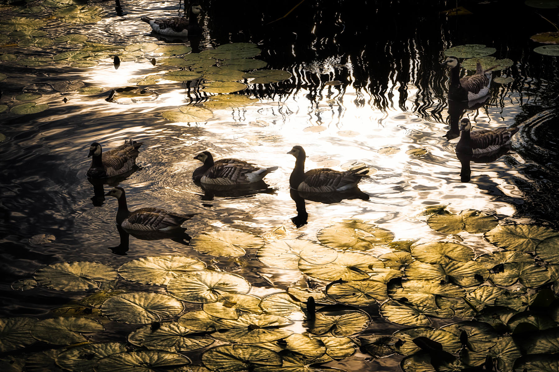geese and waterlilies in glaring sunlight reflection
